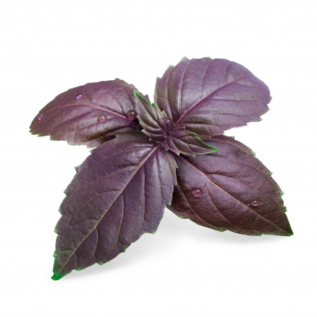 Purple Basil Lingot